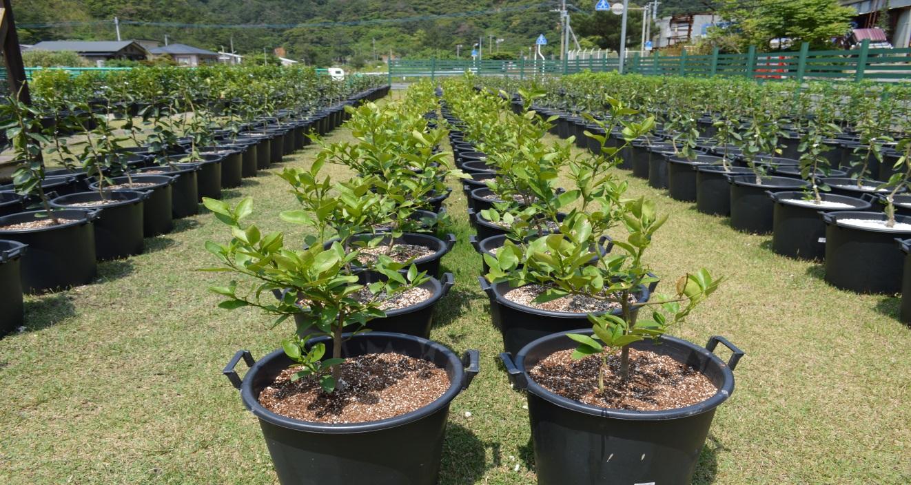 Coltivazione di Limoni a Amami, Giappone, 907 piante in vasi da 40L fertilizzate con prodotti Biobizz, presto saranno oltre 2000!