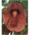 Calico fiore - Aristolochia Littoralis - 50 semi