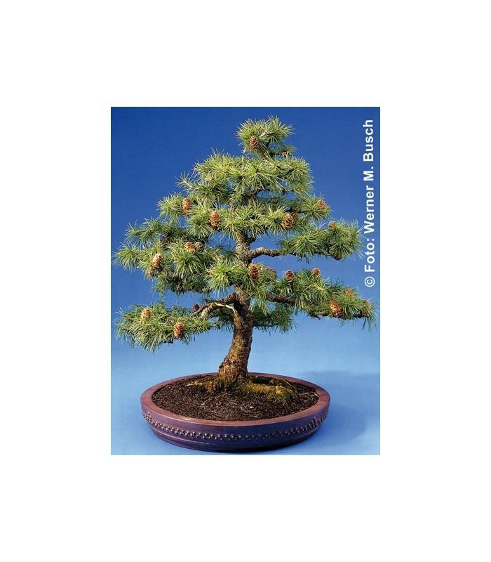 Semi bonsai di larice europeo larix deocideus for Bonsai prezzi